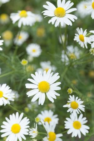 Macro image of Chamomile flowers.