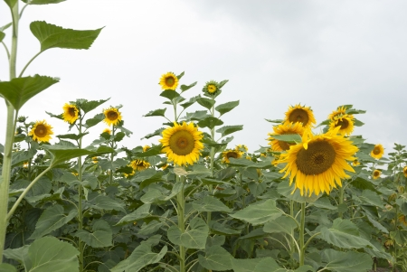 Agricultural crop of sunflowers growing in Poland.