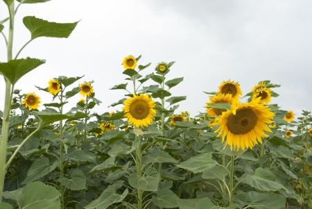 Cultures agricoles de culture du tournesol en Pologne.