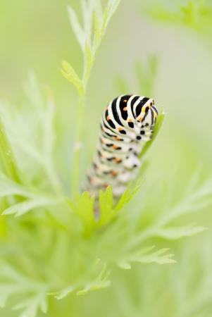 Black Swallowtail Caterpillar (Papilio polyxenes) on carrot foliage.