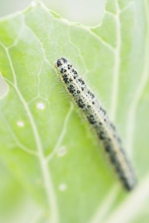Macro image of caterpillar eating cabbage leaf.