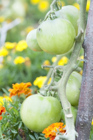 Green Tomatoes Growing on Allotment.