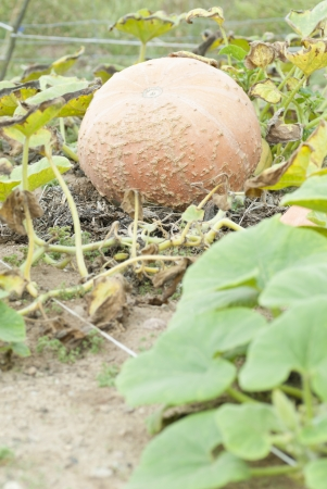 Large Pumpkin Growing in Allotment.