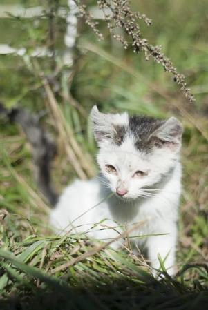 sores: Gattino unhealth di piaghe sui suoi occhi e le orecchie.