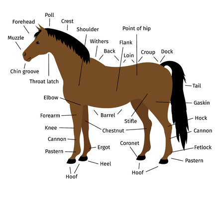 vector cartoon flat infographic anatomy of a bay horse isolated on white background