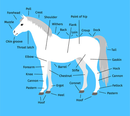 vector cartoon flat infographic anatomy of a white gray horse isolated on blue background Illustration