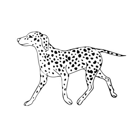 Vector hand drawn sketch doodle Dalmatian dog isolated on white background 일러스트