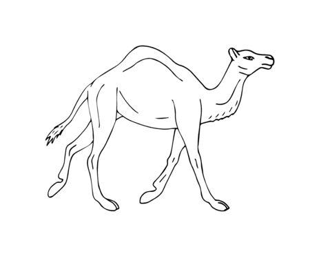 Vector hand drawn sketch dromedary one humped camel isolated on white background