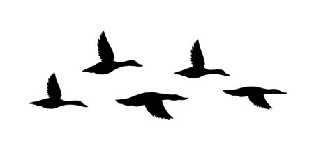 Vector black flock of flying duck silhouette isolated on white background 版權商用圖片 - 132574541