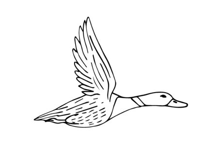 Vector hand drawn sketch flying duck isolated on white background