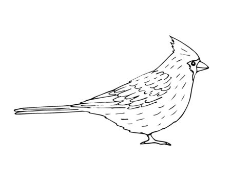Vector hand drawn sketch outline red cardinal bird isolated on white background