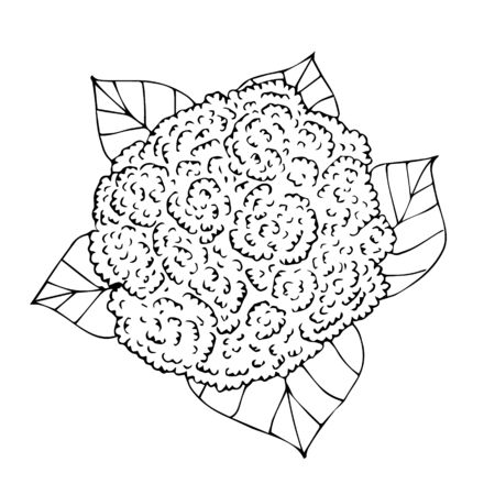 Vector black hand drawn sketch cauliflower isolated on white background Stock Illustratie