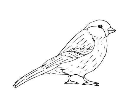 Vector hand drawn sketch black sparrow bullfinch bird isolated on white background