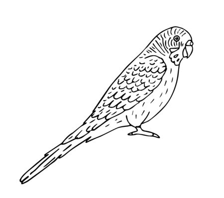 Vector hand drawn doodle sketch black outline budgie parrot isolated on white background Фото со стока - 137783619