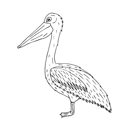 Vector hand drawn doodle sketch pelican isolated on white background