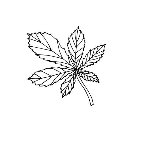 Vector hand drawn doodle sketch chestnut leaf isolated on white background Иллюстрация