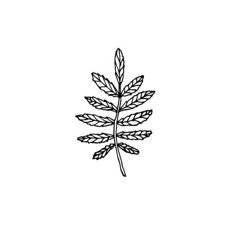 Vector hand drawn doodle sketch rowan leaf isolated on white background