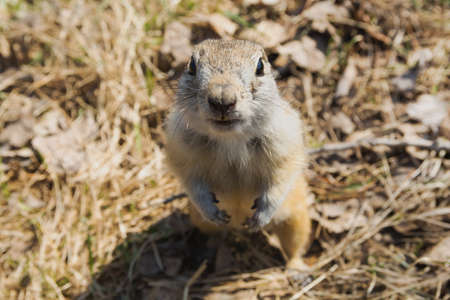 Close-up portrait of a curious gopher sitting in a field.