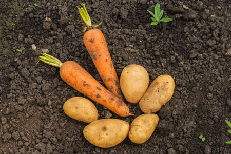 Fresh unwashed potatoes and two carrots are lying on the ground in a field. The harvest of fresh vegetables lies on the ground in the field. Stock Photo