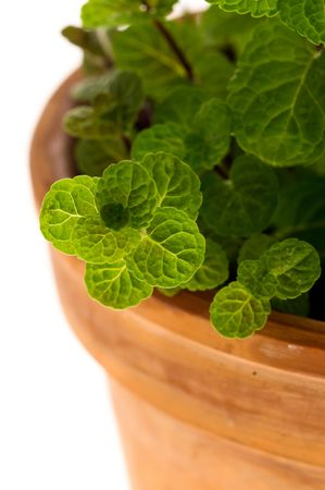 Close up of leaves of mint in a flowerpot Stock Photo - 7832064