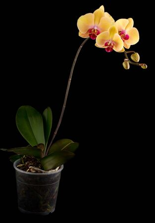 The yellow orchid a dark background photo