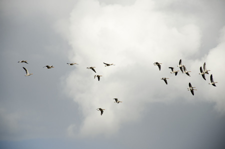 Large Flock of Geese Flying in Sky photo