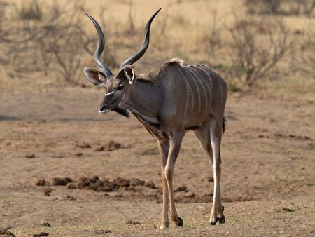 Closeup of a male Greater Kudu with long twisted horns walking through the savanna of Namibia