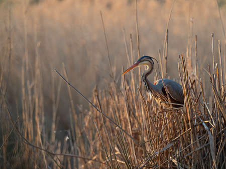Wildlife photo of a Purple Heron (Ardea purpurea) at its nest in the reets of a lake in the early morning sun