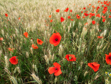 Red-blossomed poppies in a cornfield, Germany Foto de archivo
