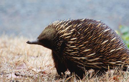 An austrailan echidna Stock Photo