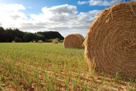 A collection of freshly cut hay bales. Stock Photo - 1006128