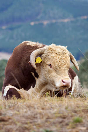 tagged: A high country Hereford bull resting in a paddock.