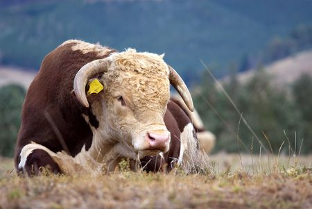 hereford: A high country Hereford bull resting in a paddock.
