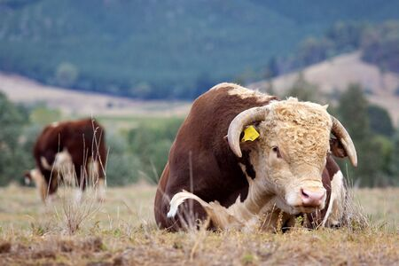 High country Hereford bulls in a paddock. photo
