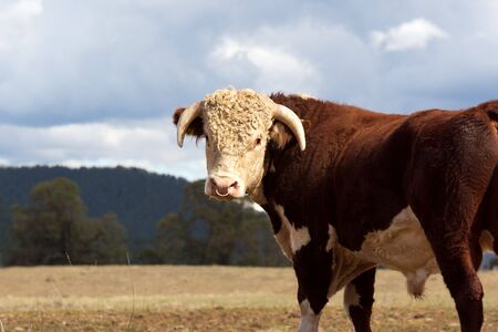 A high country Hereford bull standing in a paddock. Stock Photo