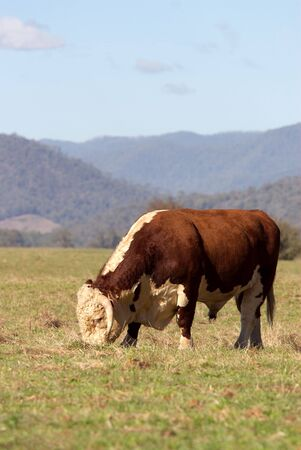 heffer: A high country Hereford bull grazing in a paddock.