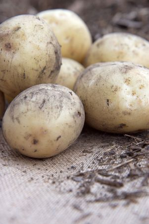unwashed: Organici unwashed patate su un sacco di Hesse.  Archivio Fotografico