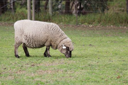 An English Leicester sheep, grazing in the field. photo