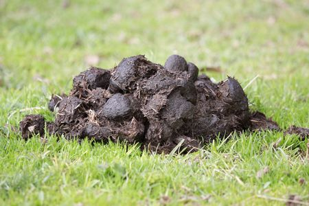 poo: A pile of fresh horse manure on green grass.