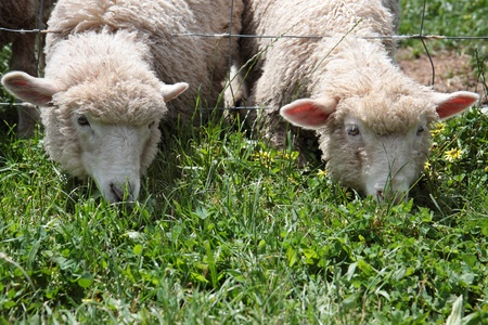 Two young sheep grazing on fresh spring grass. photo