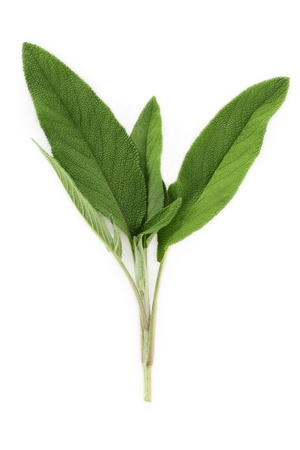 sage: A fresh cutting of sage isolated on a white background.