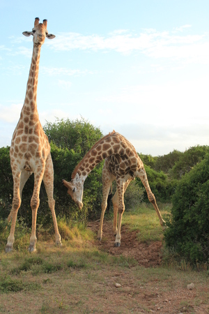 bowing head: Pair of Giraffes - Bowing 2