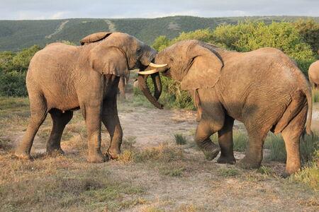 game reserve: Pair of African Elephants fighting, shamwari game reserve