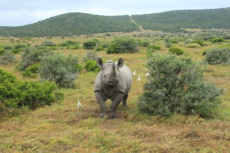 Solitary Black Rhino surrounded by white birds photo
