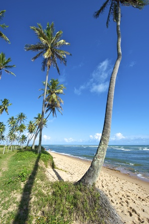 Praia do Forte is a small fishing village 50 miles north of Salvador along the coast road called Coconut Highway - so called because of the many coconut groves along the route. The main attraction in Praia do Forte is the