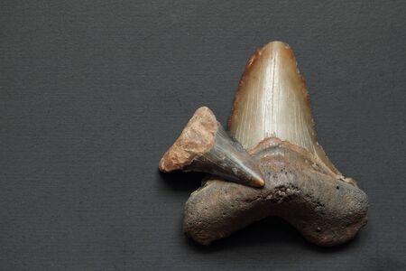 shark teeth: Dos dientes fosilizados de tibur�n Megalodon