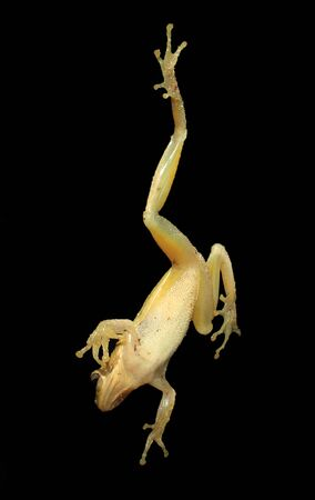 A green tree frog clinging to a window  Shot from inside