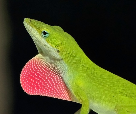 A Carolina Anole exposing its red throat flap Banco de Imagens