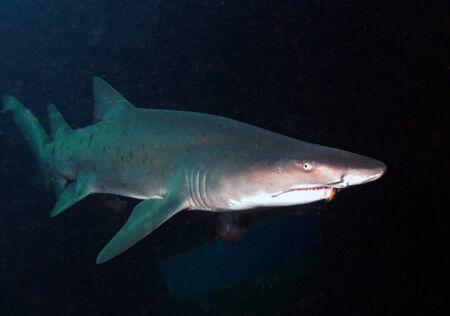 ノース ・ カロライナ州の難破船の残骸を通って巡航 Sandtiger サメ