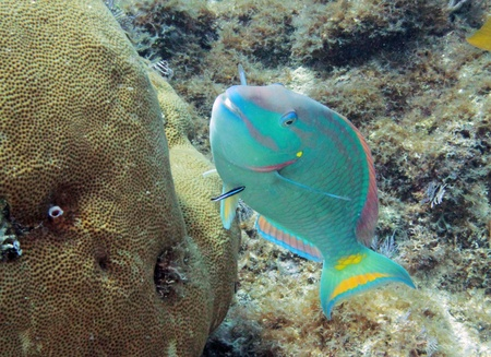 wrasse: A large brightly colored Parrot fish being cleaned by a small cleaner wrasse.